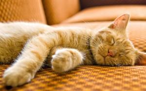 beautiful-sleeping-cat-wallpaper-2560x1600